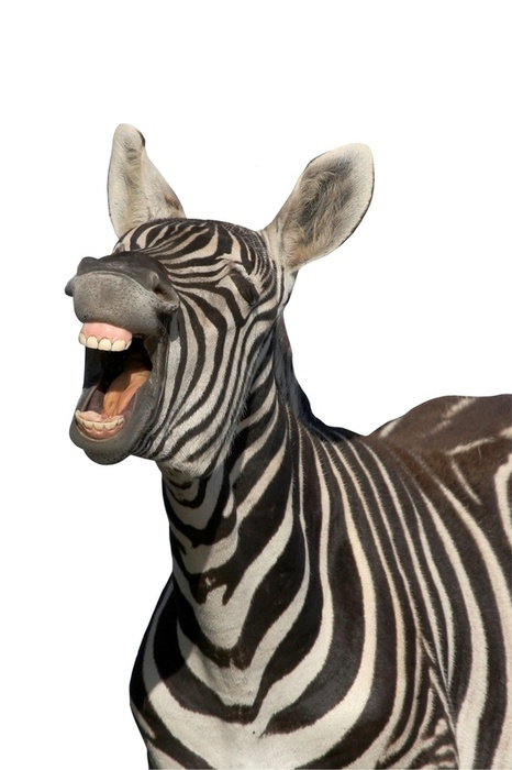 12125laughing Zebra
